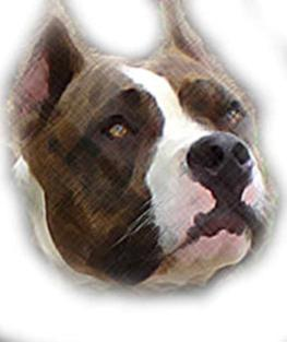 pitbull amstaff american staffordshire terrier blue gaff marquee pit bull